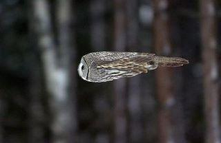 owl-aerodynamics