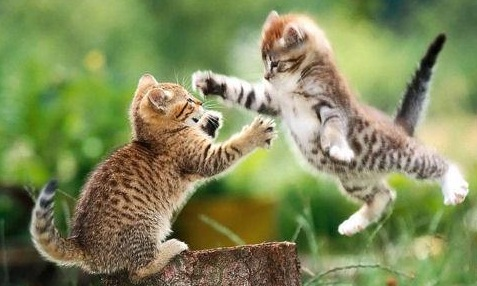fighting-kittens